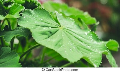 Water-drops on leaf surface. Color correction.