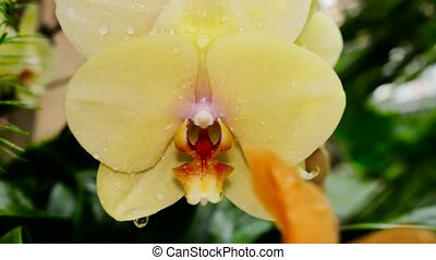 Yellow orchids in drops of dew. The camera moves back on the slider. Color correction.