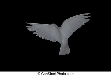 White dove in flight isolated at black back view