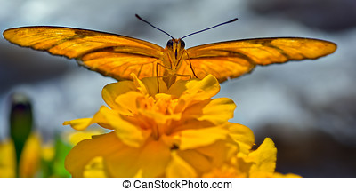 Julia Butterfly basking on a flower - A Julia butterfly at a...