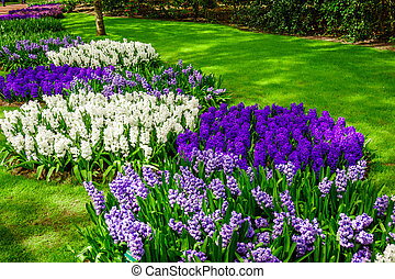 beautiful multicolored hyacinths. Colorful hyacinth flowers...