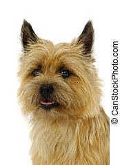 Cairn Terrier - Face of sweet dog, taken on a white...