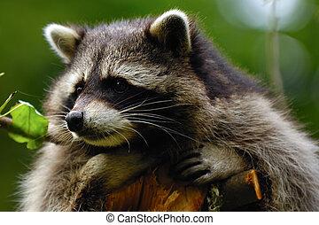 Sad raccoon - A sweet sad raccoon is sitting in a tree and...