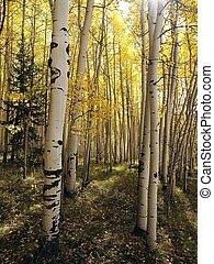 Aspen Stems - The sun shines into a dense aspen forest in...