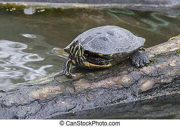 Single Turtle on a tree trunk in water