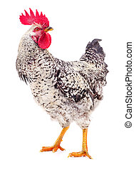 Gray young rooster.