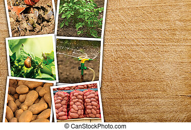 Homegrown potato photo collage on wooden background with...