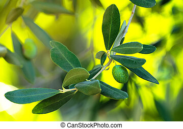 Olive branch with morning sunlight, selective focus
