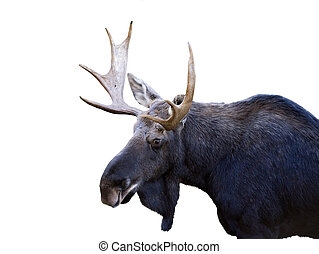 bull moose on a white background
