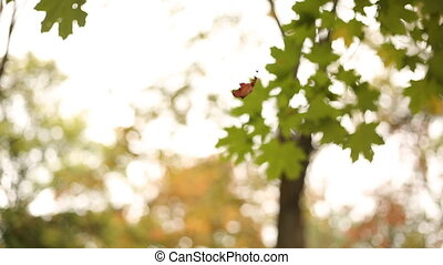 Autumn leaf waving in the wind hanging on a cobweb. (Shot in...