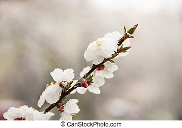 Flowers apricots in the snow - Sprig of apricots with...