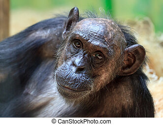 Chimpanzee - Beautiful portrait of the common chimpanzee...