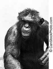 Black and white Chimp - Beautiful portrait of the common...