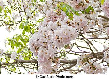 Pink Trumpet (Tabebuia rosea) flower