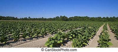 tobacco farm - tobacco plants growing on a farm somewhere in...