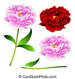 Pink and Red Peony Flower. isolated on White Background. Vector Illustration