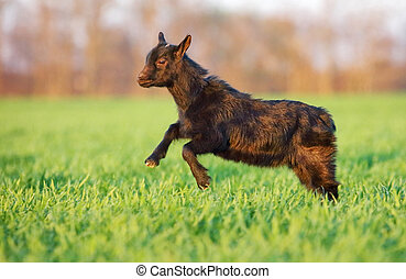 Young goat in green meadow