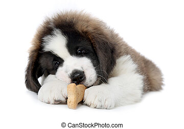 Saint Bernard Puppy Enjoying a Treat on White Background -...