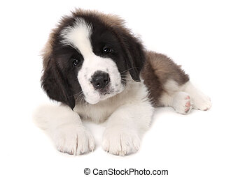 Adorable Saint Bernard Puppy Lying Down on White Background...