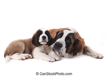 Two Loving Saint Bernard Puppies Together on a White...