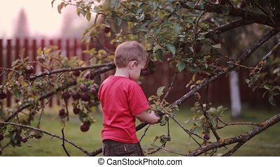 Cute smiling little boy helping with gathering and try to picks up apples from apple tree, then looking to the camera