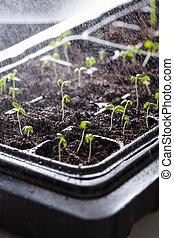 plantas, Seedling, aguando, plástico, crescendo, Germinação,...