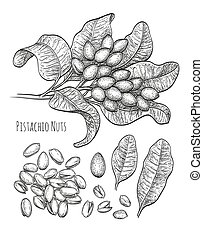 Pistachio nuts set. Ink sketch. Hand drawn vector...