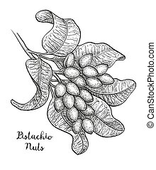 Sketch of pistachio branch - Vector illustration of...