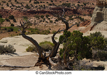 Desert Tree - A tree growing in the Utah desert