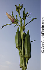 ripe okra - okra that is ready to pick with a flower on the...