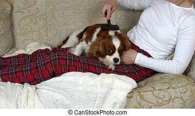 Woman Combing Her Dog - Woman is sitting on a sofa in cozy...