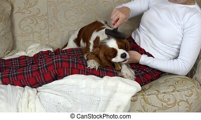 Woman Combing Lovely Dog - Woman is sitting on a sofa and...