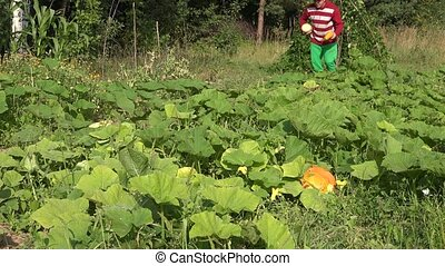Farmer cowboy harvest zucchini plants and walk through farm...