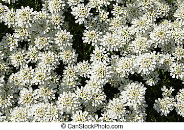 Evergreen candytuft - Iberis sempervirens (Evergreen...