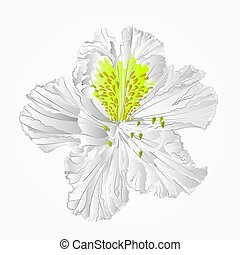 Rhododendron white flower eighth vector.eps - Blossoms white...