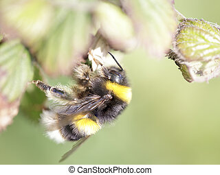 Bumblebee sucking pollen and nectar from wild flowers....