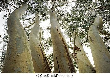 excepcional, punto de vista, eucalipto, árbol