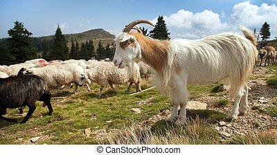 herd of sheeps and goats in alps - herd of sheep in alps...