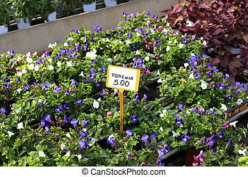 for sale torenia flowers in spring