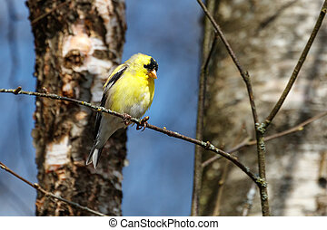 yellow American Goldfinch - American Goldfinch at Vancouver...