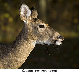 doe profile - whitetail deer doe up close posing for a...