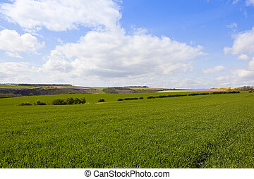 yorkshire wolds agriculture - green wheat fields and...