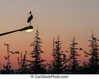 Silhouette of marabou stork at sunset