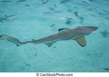 Blacktip shark in moorea island lagoon