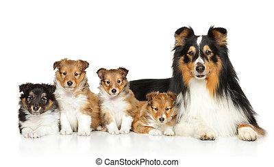 Shetland sheepdog family - Happiness Shetland sheepdog...