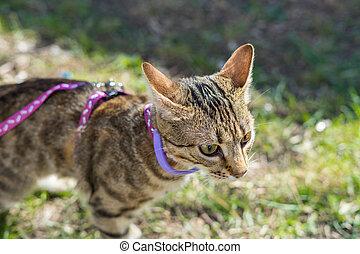 Kitten on a leash outdoor