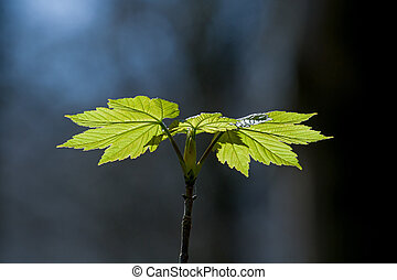 Sycamore Leaves - New growth of sycamore leaves in...