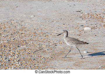Willet Hunts on the Beach with small scattered shells