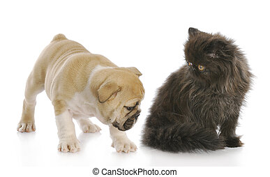 puppy sniffing kittens backside - english bulldog puppy...