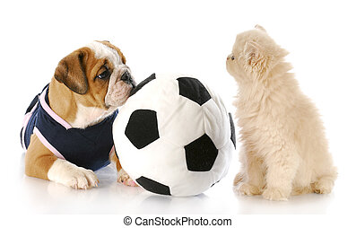 puppy and kitten playing together - english bulldog puppy...